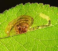 Stigmella prunetorum - Spiraalmineermot